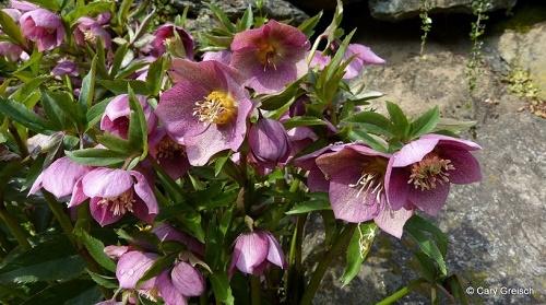 Hunyor, a lopakodó tavasz virága